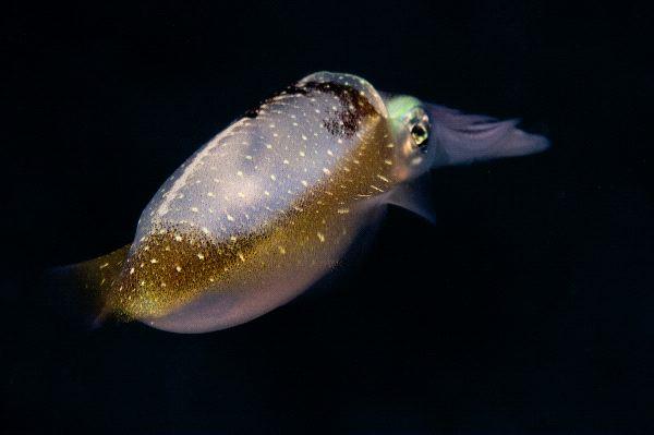 Caribbean Reef Squid Diving Away