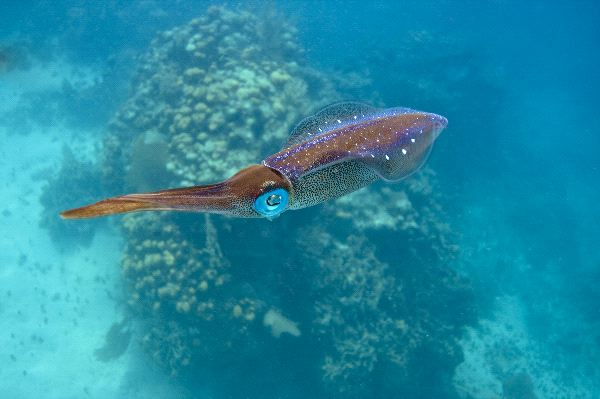 Caribbean Reef Squid in Clear Water - Squid Facts and ...