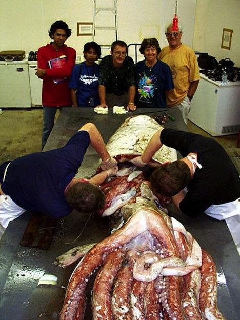 Características del calamar gigante.