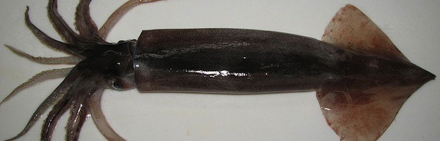 Japanese Flying Squid