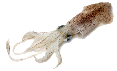 top squid facts
