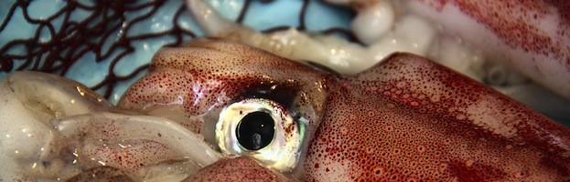 Pesca Comercial del Calamar