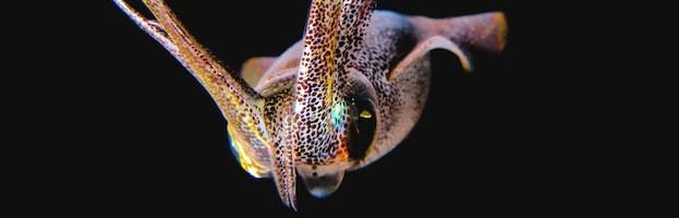 Squid Evolution