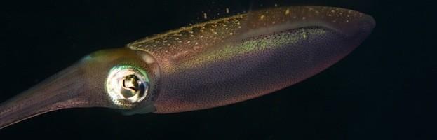 Squid Reproduction