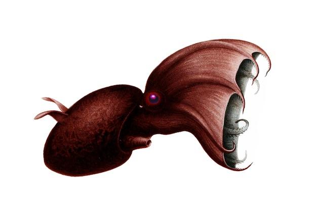 Características del calamar vampiro.